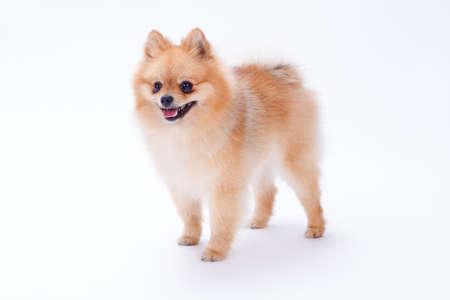 Little funny spitz, studio shot. Orange color furry pomeranian dog isolated on white background. Miniature domestic friend.