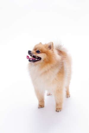 Funny pomeranian spitz, white background. Purebred orange puppy spitz on white background, studio photo. Red color fluffy little dog.