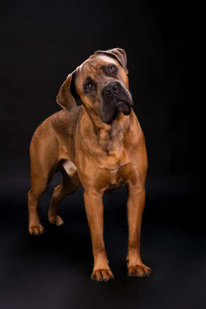 Beautiful cane corso, studio portrait. Adorable italian mastiff cane corso on dark background, studio shot. Cute and young big dog.