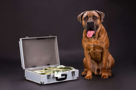 Cane corso and hundred of dollars. Huge pedigreed dog and suitcase full of currency on dark background, studio shot. Muscular protection of your finance.