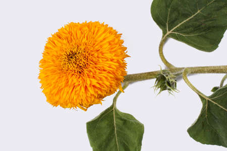 Sunflower baby, young flower of the plant. White isolated background.