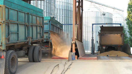 Grain trucks dumping grain. Unloading harvest grain in a factory.