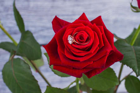 Red rose with diamond ring. Engagement ring in fresh scarlet rose. Marriage proposal concept. Valentines Day and romance.