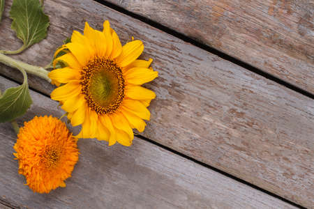 Unripe yellow and orange sunflowers. Top view. Copyspace, free space for text. Stock Photo