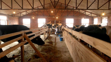 Modern farm cowshed with milking cows eating hay. Milkmaid milking cow at eco farm. Dairy farming concept.