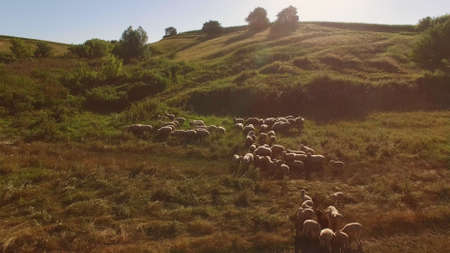Group of sheep is running. Hoofed animals on the meadow. Valuable wool and meat. Cattle breeding in countryside.