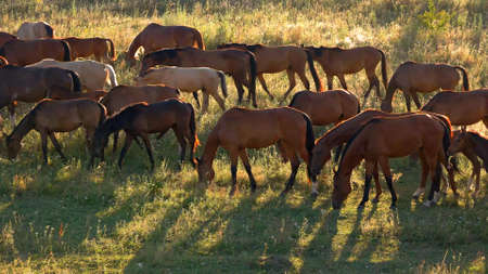 Horses walk and eat grass. Brown horses on meadow. Animals in the wild. Adapt and survive. Reklamní fotografie
