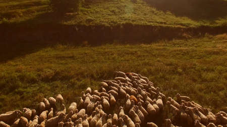 Large group of sheep. Animals stand on a meadow. Agriculture needs ecology. Territory of rural farm.