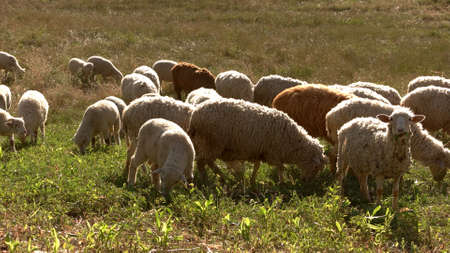 Sheep herd is walking. Animals on grassland. Good conditions for breeding livestock. Pasture in rural area.