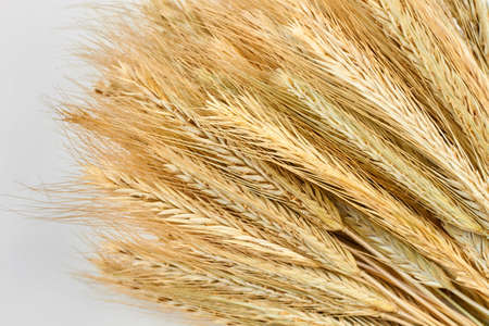 Heap of wheat ears. Close up sheaf of barley ears. Concept of agriculture.