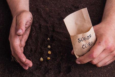 Closeup hands of gardener planting corn sugar seeds. Care and growing.