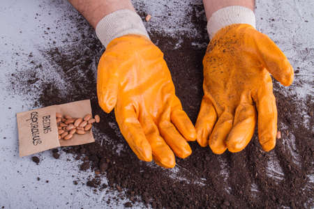 Orange gardeners gloves. Close-up. Beans asparagus and soil. Stock Photo