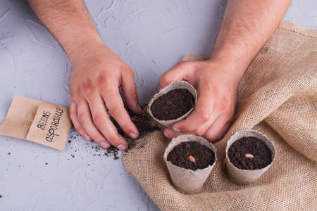 Asparagus indoor growing. Mans hands with fibre disposable fibre cardboard pots filled with soil and seeded beans. Stockfoto