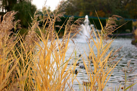 Yellow autumnal reed close up. Park pond background.
