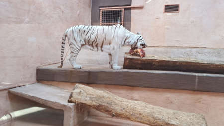 White tiger having dinner in a zoo enviroment. Eating raw meat.