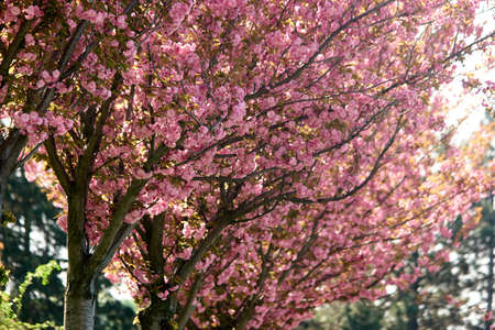 Cherry blossom trees close up. Pink flowers of cherry blossom tree. Beautiful floral background. Stock fotó