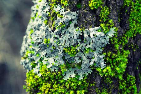 Lichen Parmelia sulcata and bright green moss on a tree bark