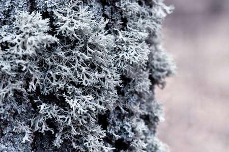 Evernia prunastri gray lichen on a tree trunk