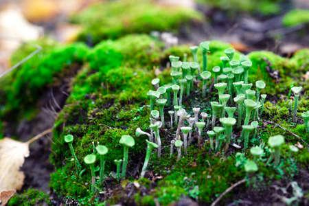 Lichen cladonia pyxidata and moss in autumn forest.