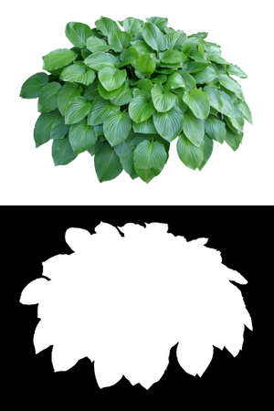 Decorative evergreen plant on white background with alpha channel mask