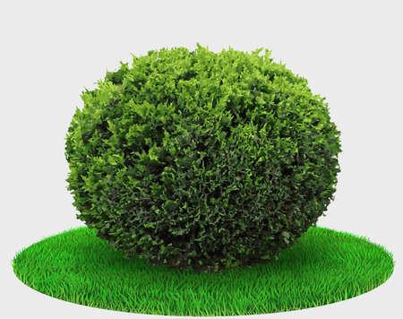 Thuja plant bush or juniper sphere shape