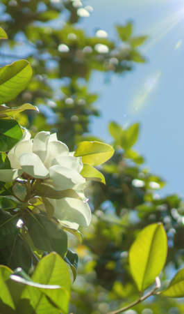 Wallpaper for phone, creamy white southern magnolia Magnolia Grandiflora flower. Rays of the sun in the blue sky 写真素材