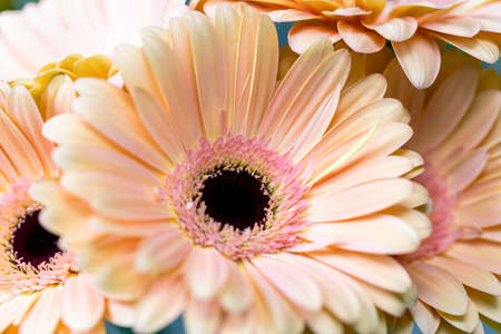 Close-up highlighting the beautiful details gerbera. floral letter illustration, event invites, floral backdrops.