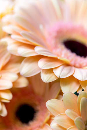 close-up of a gerbera flower. macrophotography of gerbera leaves. Beautiful backdrops for greeting card. Stock fotó