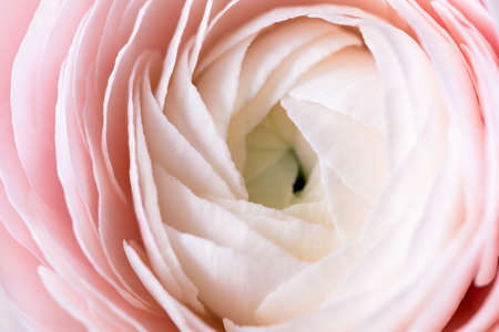 Beautiful pink ranunculus flower lovely gift flower delivery