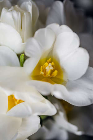 pestle and stamens of a white blooming tulip. Bouquet of white tulips