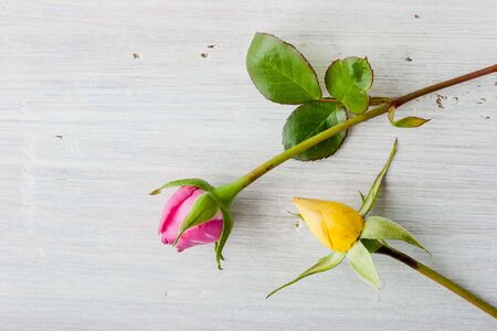Pink and yellow rosebuds on the white background Stock Photo