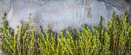 piquancy: Thyme sprigs on the stone table wide screen Stock Photo