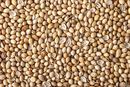 culantro: fondo semilla de cilantro