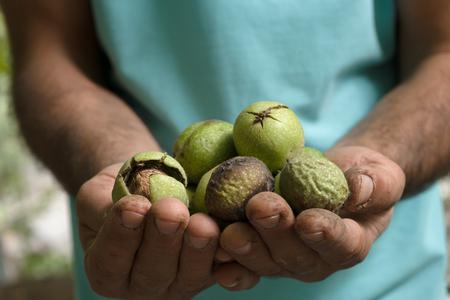 Noix vertes non nettoyées entre les mains d'un paysan agrandi
