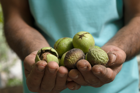 Uncleaned green walnuts in the hands of a farmer closeup Stock Photo