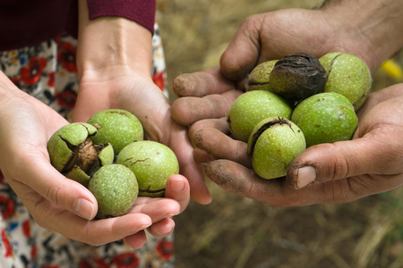 Green unpeeled walnuts in the hands of farmers top view Stock Photo