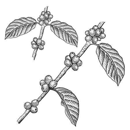 granos de cafe: ramificación del café grabado. Ilustración del café del vector del árbol.