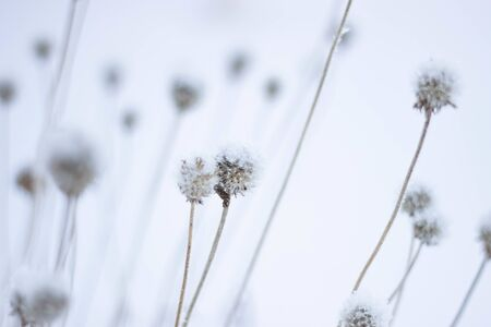 Dry flowers under the snow. Branch of a plant with ice crystals. Winter background. Фото со стока