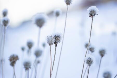 Dry flowers are covered with hoarfrost. Branch of a plant with ice crystals. Winter background.
