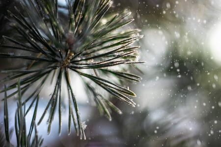 Beautiful spruce branch close-up, covered with snow. Snowy spruce branch in the winter forest during snowfall Фото со стока