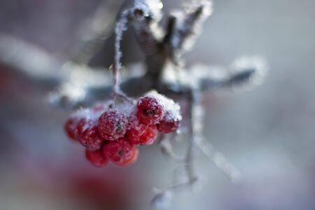 Branches and clusters with red rowan berries covered in snow and ini