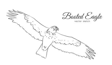 Vector illustration: Black sketch of Booted Eagle in fly on white background Illustration