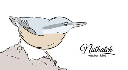 Vector illustration: Hand drawn isolated color Nuthatch on white background. Line design. Sketch Illustration