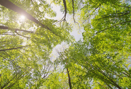 Looking up forest with sunlight. Trees with green Leaves. Bottom view background. Фото со стока - 127762470
