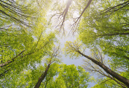 Looking up forest. Trees with green Leaves. Bottom view background.