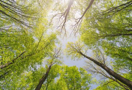Wyszukiwanie lasu. Drzewa z zielonymi liśćmi. Tło widoku z dołu.