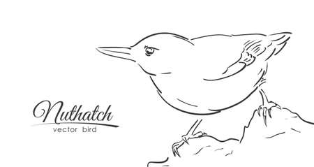Vector illustration: Hand drawn isolated Nuthatch on white background. Line design. Sketch