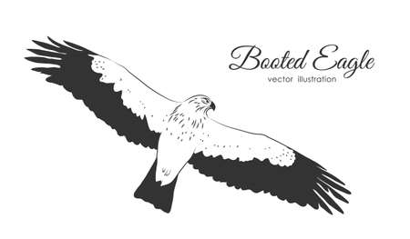 Vector Hand drawn Booted Eagle in fly on white background.