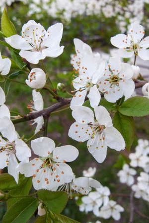 The spring flowering of cherry the small white flowers one stock stock photo the spring flowering of cherry the small white flowers one of the first flowers of fruit trees in the spring mightylinksfo