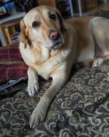 A labrador dog posing in front of the camera. Reklamní fotografie
